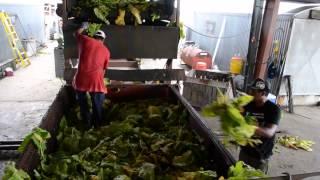 Tobacco Farming in Eastern North Carolina (Documentary)