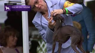 Italian Greyhounds | Breed Judging 2021