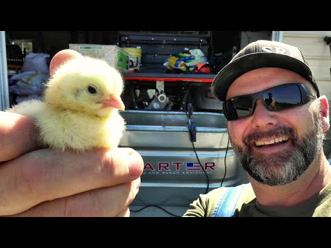 BEST NO-NONSENSE EASY GUIDE To RAISING YOUR NEW BABY CHICKS With Success!