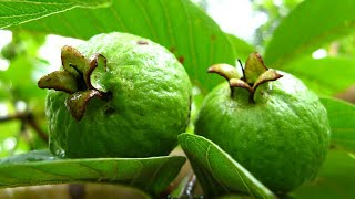 how to make Peru Chutney | Guava Chutney