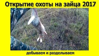 Открытие охоты по зайцу 2017  Разделка зайца на природе
