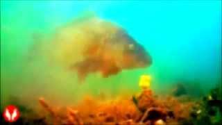 Ловля карпа на бойлы, видео под водой   Fishing carp baits underwater