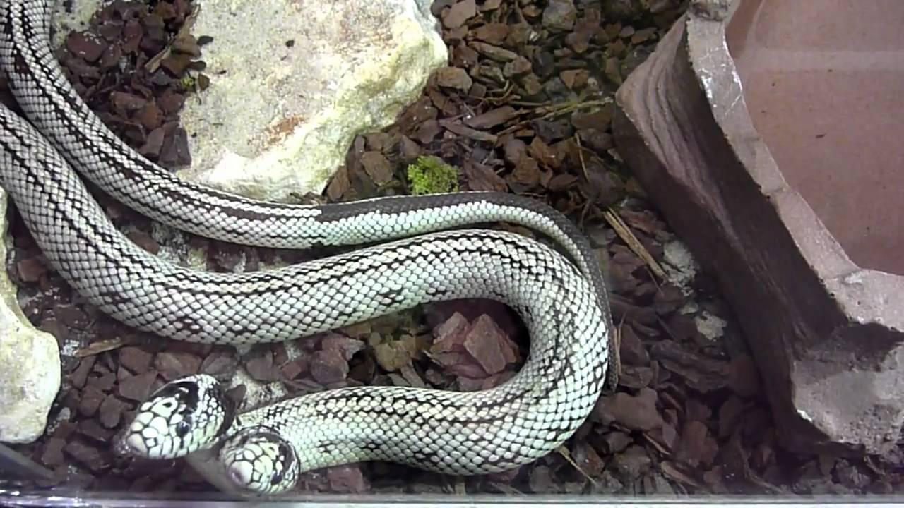 Schlange Mit Zwei Köpfen