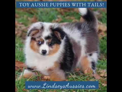 Toy Aussie Puppies With Tails Available At Lindseys Aussies Youtube
