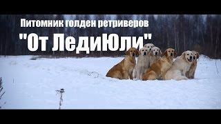 "Питомник голден ретриверов ""От ЛедиЮли"" Калуга"