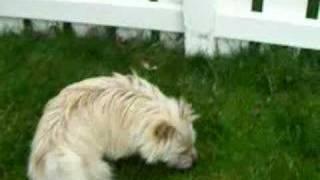 Logan - 1 Yo Cairn Terrier Cairn Rescue Usa (crusa) 3