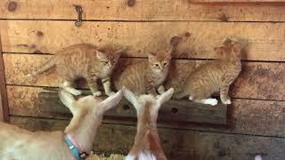 3匹の子猫、生まれて初めてヤギに出会う。猫とヤギの共同生活がはじまった。(アメリカ)