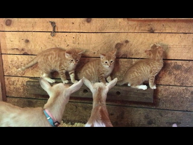 Three kittens and a herd of goats