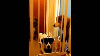 The Baby Gate With The Labrador Retriever Door
