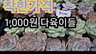 #다육이 #착한가격 #우노꼬레화원 #식물 1,000원다…