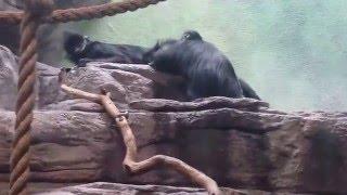 Monkey Porn@ St.Louis Zoo