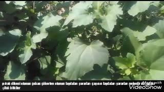 Pıtrak dikeni çoban çökerten Dulavrat otunun çayının yaprakları çayının faydaları yararları nelerdir