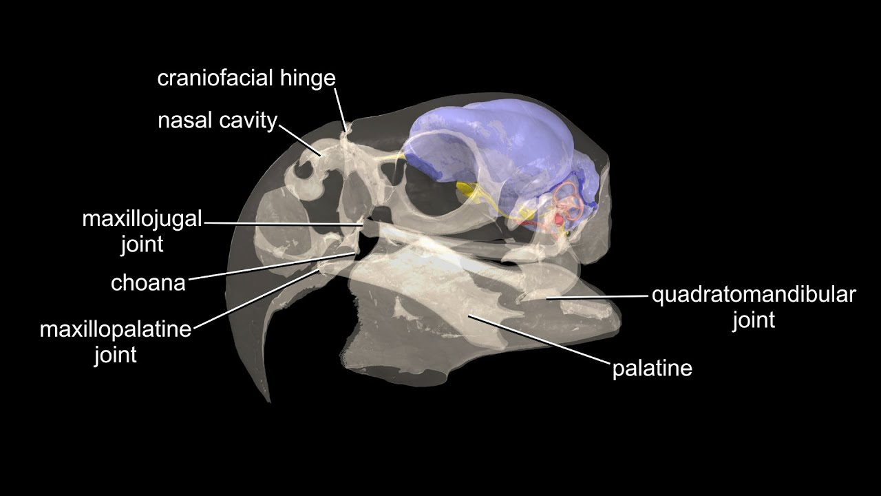 Visible Interactive Parrot - macaw skull with brain endocast, inner ...
