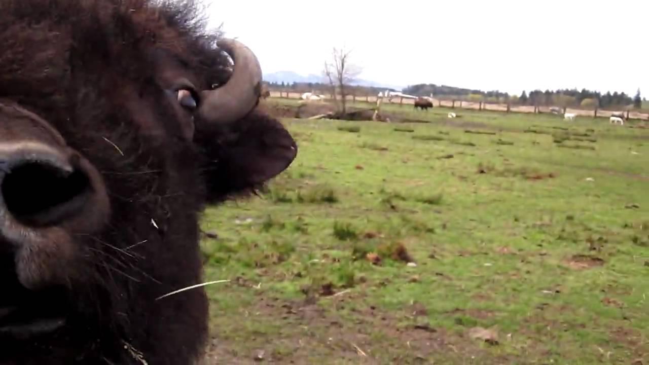 Feeding Buffalo - YouTube