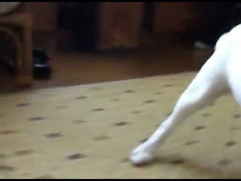 プリンです!ガムを独り占めするフレンチブルドッグ_Purin-FrenchBulldog