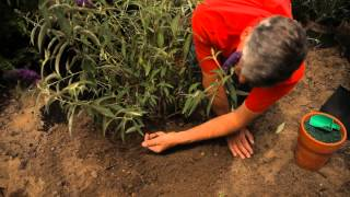 How Do I Plant & Care For A Butterfly Bush? : Garden Savvy