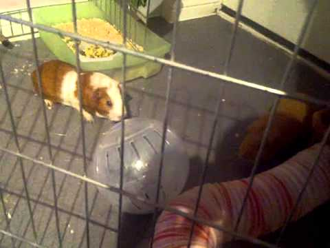 Guinea pig vs hamster stand off youtube for Guinea pig stand