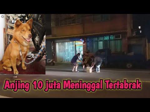 TAIWAN LAGI BULAN HOROR,, ANJING 10 JUTA MENINGGAL TERTABRAK ,,