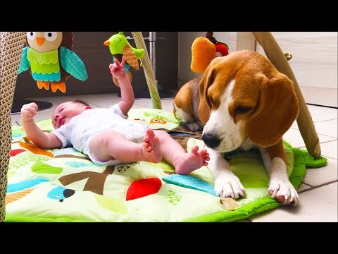Baby meets Dogs for The First Time! Adorable Baby Liam meets Louie and Marie The Beagles