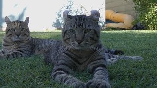 "LYNX HYBRID - MY ""BIG CATS"" Goliath & Fox ! Amazing CATS!"