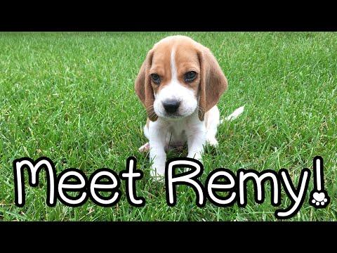 Remy the Beagle!