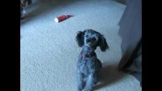 New Video! Toy Poodle 4-11-12