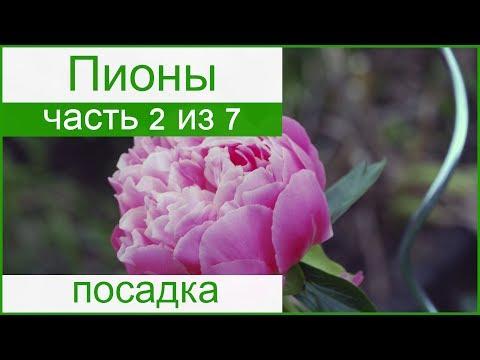 🌸 Посадка пионов осенью и весной, как сажать пионы