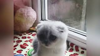 Котёнок окраса серебристая шиншилла ns 11,скоттиш фолд Keks