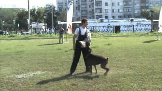 Доберман охраняет хозяйку / Doberman security dog