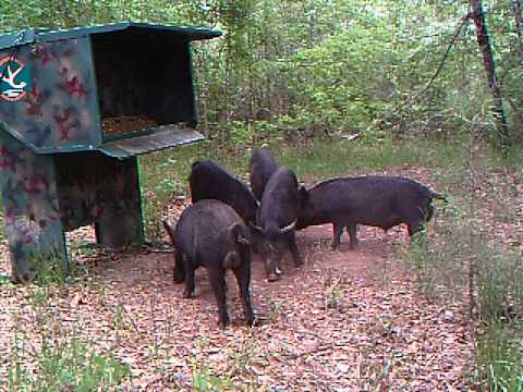 Wild Hogs At Gravity Deer Feeder - Can't Get In The Feeder
