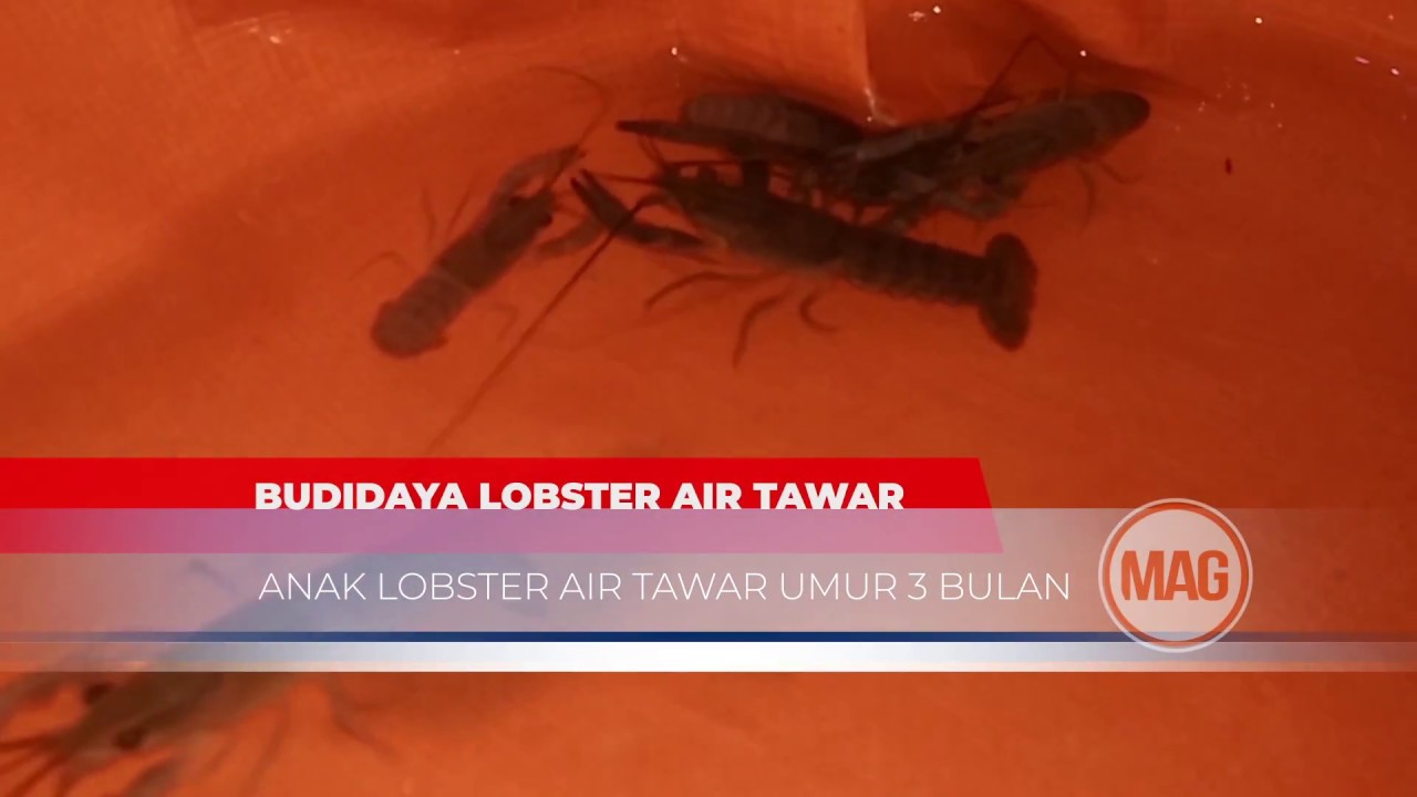 Anak Lobster Umur 1 Bulan 2 Bulan 3 Bulan Budidaya Lobster Air