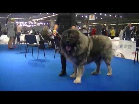 Caucasian Ovcharka at Euro dog show 2018 Warsaw