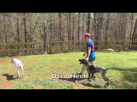 "9mo German Shorthaired Pointer ""Otto"" Before and After – GSP Training Raleigh Durham"