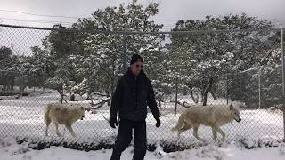 Feeding 70 Wolves on Christmas Day
