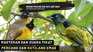 Suara Pikat Burung Kutilang Sutra Percang Dan Kutilang Emas Pikat Ribut Pikat Ampuh 100
