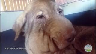 Repeat youtube video Update 4 on a rescued stray dog that was strangled with a rope on his neck - Delavar