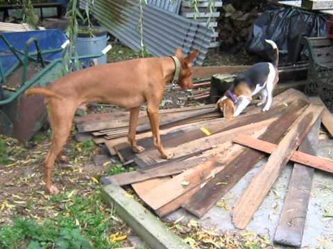 Pharaoh Hound & Beagle hunting