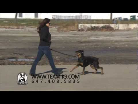 Team K9 dog services Our Dog Services 0