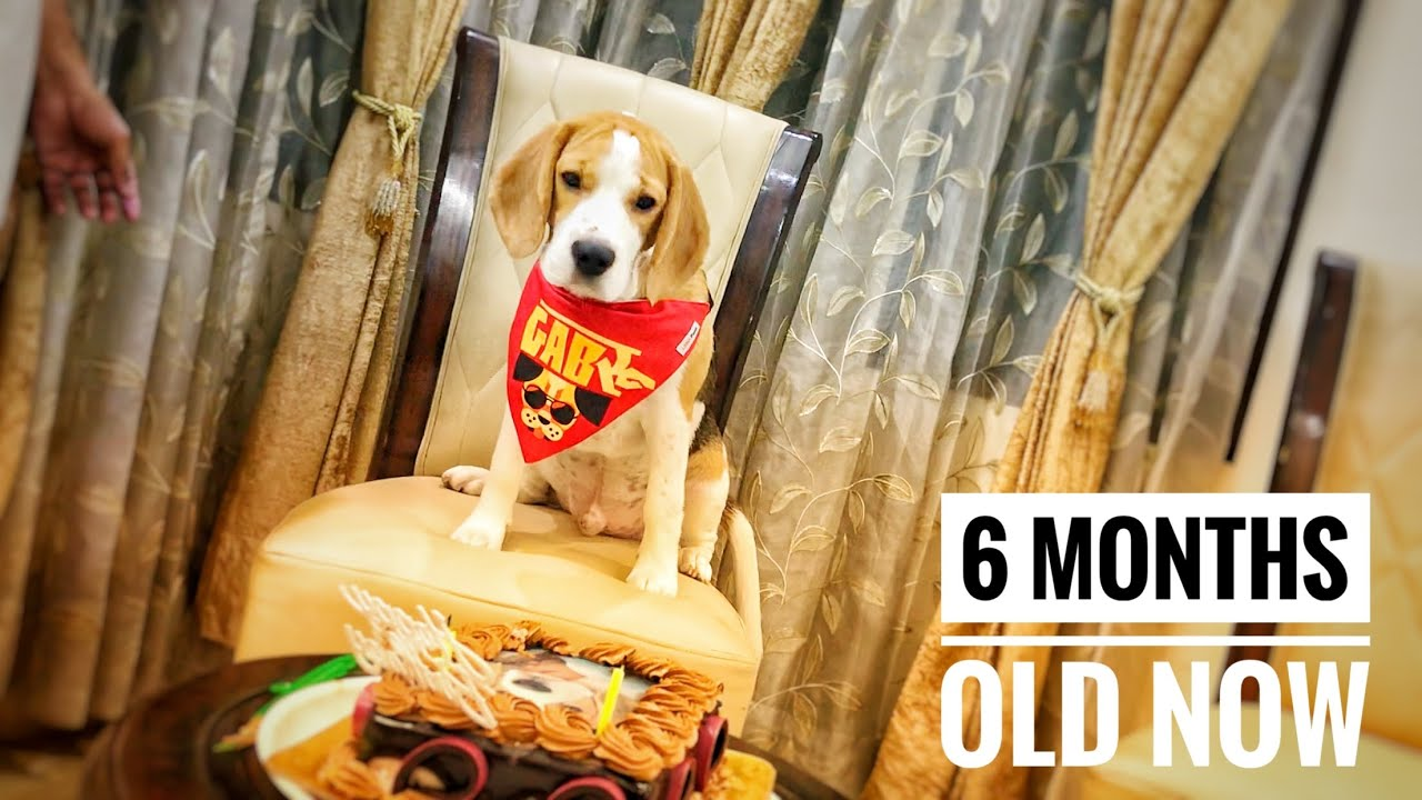 My beagle dog journey from 35 days to 6 months / gabru the beagle.