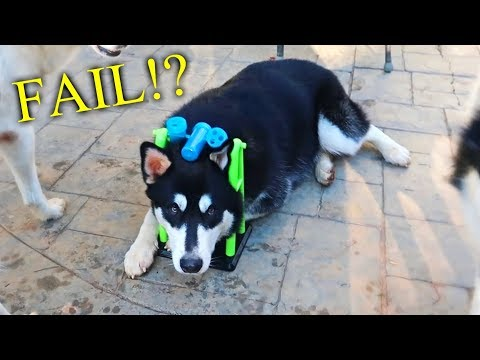 Dog IQ Test! My Husky Intelligence Test!