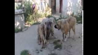 Дорогой Амулет и молодые собаки питомника