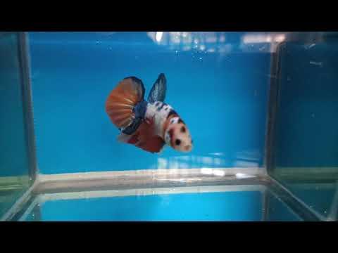 Ikan Cupang Nemo Candy Youtube