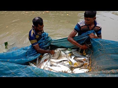 Big Silver Carp Fish Hunting | Traditional Village Fishing | Net Fishing Video