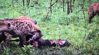 Hyenas festing in hluhluwe