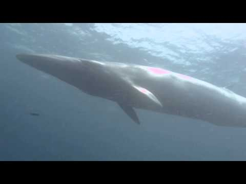 "Bryde's Whale in ""Chumphon"" KOH TAO (with Joe and Nicola) May 2013 - DISCOVERY DIVERS Koh Samui"