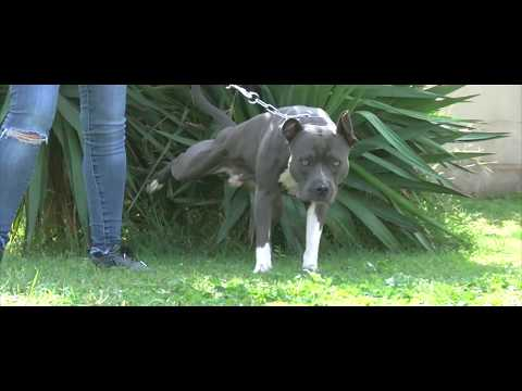 AMSTAFF BLEU AGRESSIF ENVERS LES CHIENS / EVALUATION EDUCATIVE / SYM DOG 2016