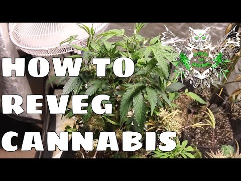 How to Reveg Cannabis After Harvest | Revegging Your Cannabis Plant Tutorial
