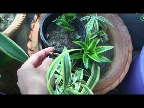 Care and propagation of Song of India plant / Best indoor & shade loving plant Song of India ☘️☘️🌿
