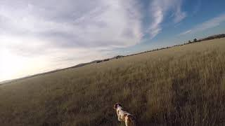 Hunting with an American Brittany