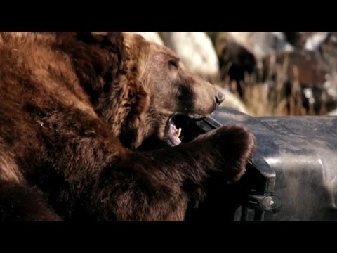 Grizzly bears in Yellowstone put trash cans and coolers to the test